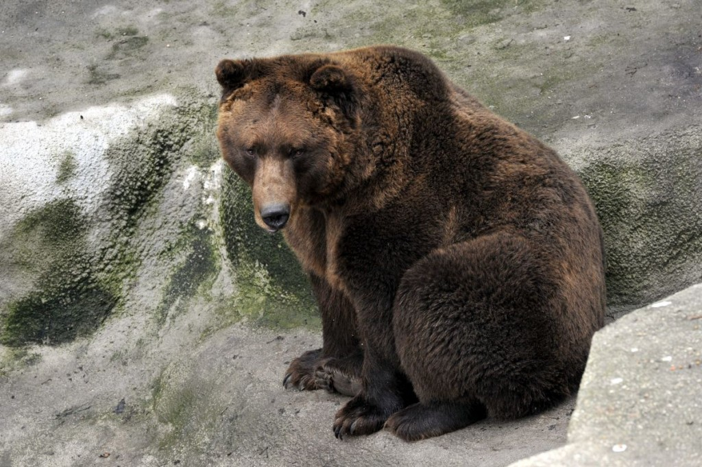 Tibi bear