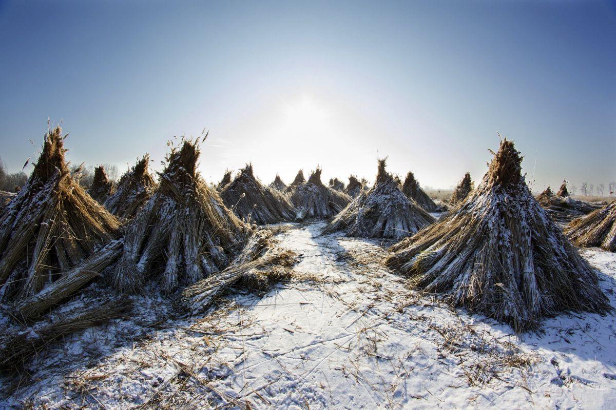 Harvesting the reed at Small Balaton (Photo: Gyorgy Varga)